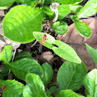 Cotton strainer bug