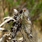 Cicada Okanagana sp.