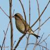 Greenfinch; Verderón