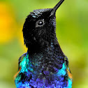 Velvet-purple Coronet