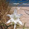 Lirio marino. Sea daffodil