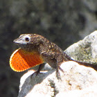 Brown Anole Lizard (male)