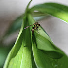 Tropical Paper Wasp