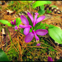 Gay Wings, Fringed Polygala