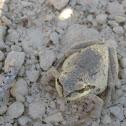 Sierran Tree Frog