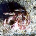Jeweled Anemone Hermit Crab
