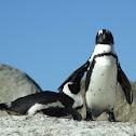African (Jackass) Penguin