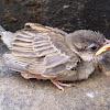 Gorrión común, gurriato. House Sparrow