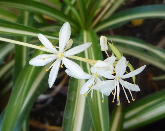 """Résultat de recherche d'images pour """"Chlorophytum comosum 'Bonnie"""""""