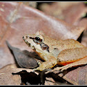 Beddome's Leaping Frog