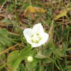 Marsh Grass-of-Parnassus - Parnassia