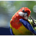 The Eastern Rosella