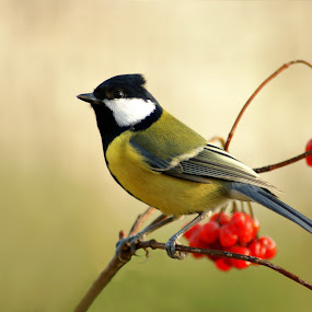 Great Tit by Milan Horejsi - Animals Birds ( great tit, bird, wild animals, blue tit )