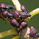 Stink bug nymphs