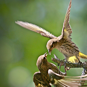 Fighting Finch by Jerry Ehlers - Animals Birds ( bird, animals, fight, outdoors, finch, yellow )