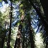 Coastal redwood