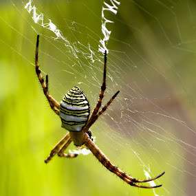 Argiope aetherea by Brad Uhlmann - Animals Insects & Spiders (  )