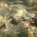 Stripeneck Musk Turtle