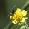 Fairy Moth (female)