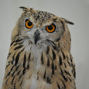 Quizzical by Carla Maloco - Animals Birds ( bird, bird of prey, owl, raptor, eagle owl )