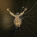 Uloboridae spider.