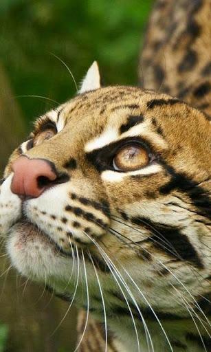 虎猫属Pardalis山猫|玩個人化App免費|玩APPs