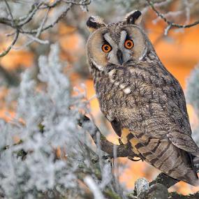 Long eared owl by Ion Alexandra - Animals Birds ( snow, long eared owl,  )