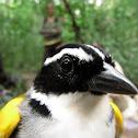 Pectoral Sparrow