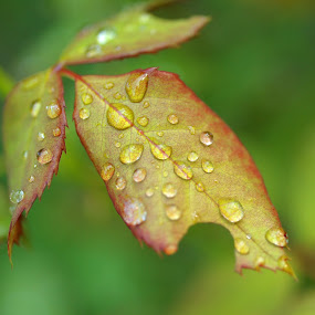 Waterdrops on leaf by Bill Morris - Nature Up Close Leaves & Grasses ( water drops, nature, dew, leaf, closeup )