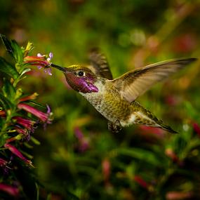 Anna's Hummingbird 2540 by Ken Wade - Animals Birds ( cuphea ignea, calypte anna, anna's hummingbird, cigar plant, , bird, fly, flight )