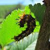 Buck Moth Caterpillar