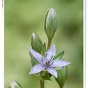 Lesser Swertia (लहान चिरायत)