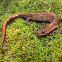 Northern Zigzag Salamander