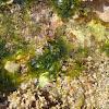 Sea lettuces / Morska salata