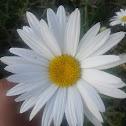 oxe-eye daisy