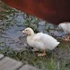 White duckling