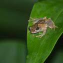 面天樹蛙 / Meintein tree frog