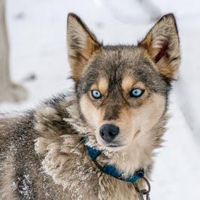 by Sverre Sebjørnsen - Animals - Dogs Portraits