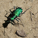 eight spotted tiger beetle