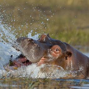 Playful by Karen Seidel - Animals Other Mammals ( water, hippo )