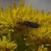 Lovebug, female