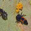Asian ladybird (newly hatched larva)