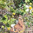 African Ringlet Butterfly