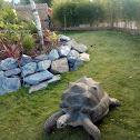 Aldabra Giant turtle