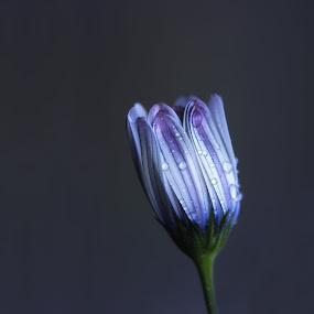Purple Rain by Dominic Schroeyers - Flowers Single Flower ( macro, purple, color, blue, drop, dew, drops, rain,  )