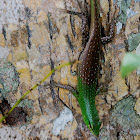 Philippine Spotted Green Tree Skink