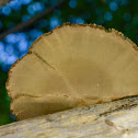 Hexagon polypore