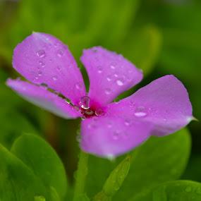 The Droplet. by Souvik Kundu - Flowers Single Flower ( colourful, morning dew, dew drops, flower, droplets )