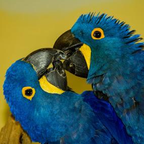 by Joshua Carelli - Animals Birds