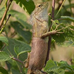 chameleon by Vaibhav Shende - Animals Reptiles ( chameleon )